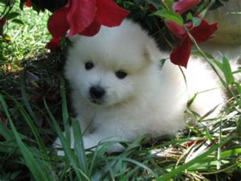 american eskimo puppy for sale american eskimo puppies for sale