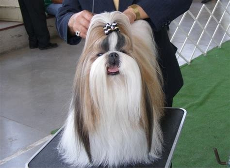 what weight should a shih tzu be shih tzu info animals wiki pictures stories
