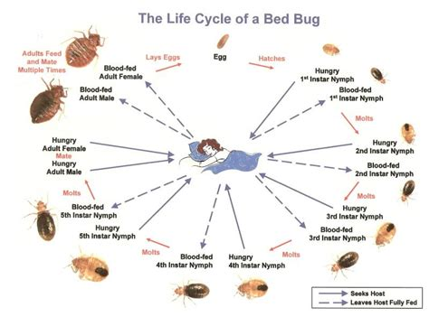 life cycle of bed bugs bed bug identification life cycle bed bug treatment