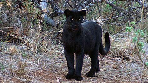 Black Leopard two africa mountains black leopard