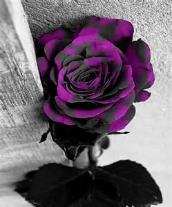 quotes black and purple roses quotesgram