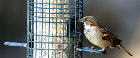wild about birds backyard birds house sparrow