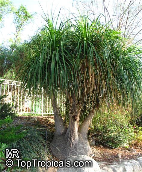 Cute Cactus Pots beaucarnea recurvata nolina recurvata ponytail palm