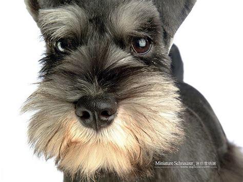 rottweiler schnauzer dogs miniature schnauzer