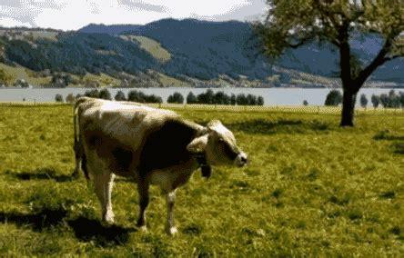 imagenes con movimiento vacas gifs animados de vacas gifmania