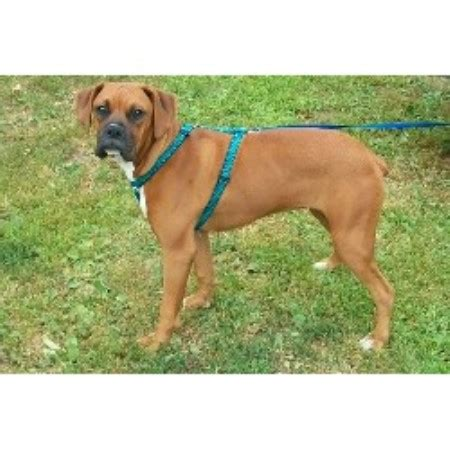 boxer puppies for sale in maine professional boxers boxer breeder in bangor maine 04401 freedoglistings id 11174