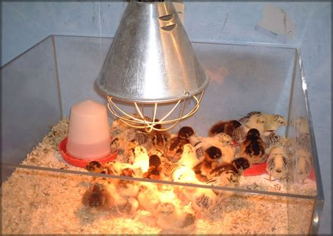 how do chickens need a heat l what does a chicken coop