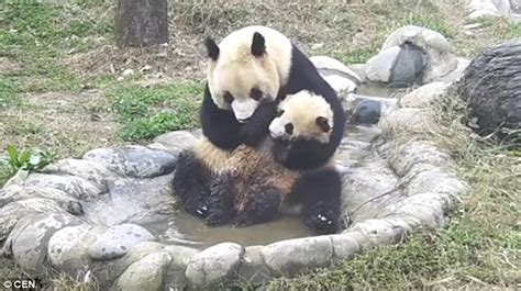 panda bathroom cute video of baby panda trying to escape mother at bath