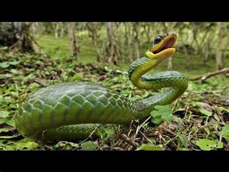 king cobra  cobra kill  cobra  anaconda attack  animals youtube