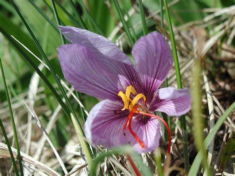 saffron wiktionary