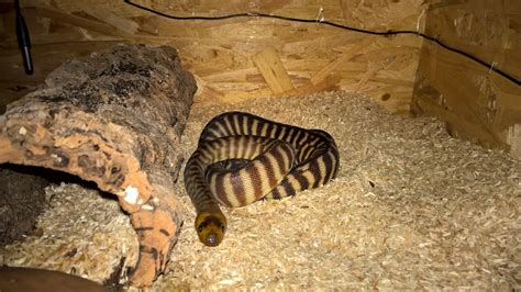 how much and how often to feed a puppy how often and how much should i feed my woma ssnakess reptile forum