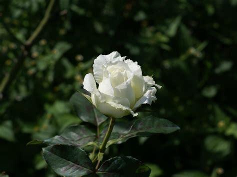 imagenes flores blancas rosas blancas fotos bonitas imagenes bonitas frases