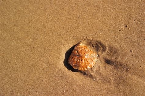 Kerang Laut Koleksi Fox Seashell gambar tanah penyu reptil fauna bahan kulit invertebrata kerang laut fotografi makro