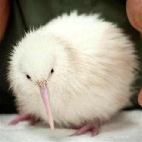 imagenes del animal kiwi albino kiwi animals birds butterfly s etc pinterest