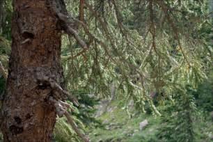 pine tree gambar foto foto fakta tentang pine trees