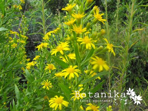 fiori della macchia mediterranea fiori e arbusti della macchia mediterranea inula viscosa