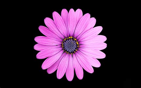 margarita purple daisy flower  wallpapers hd
