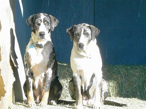 catahoula puppies for sale california catahoula leopard puppies for sale in california breeds picture