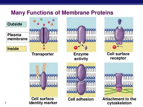 6 proteins and their functions stpm form 6 biology cell membrane