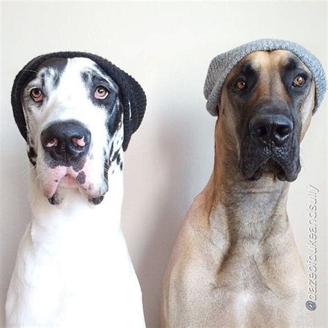 great dane puppies ta 25 best ideas about great danes on great dane dogs great dane breed and