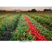 Agriculture  Mature Harvest Ready Processing Tomatoes In The Field At