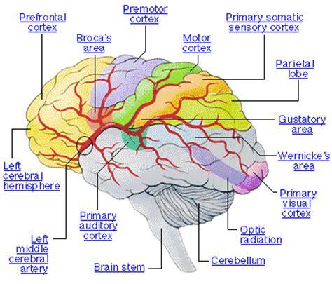 18thcenturyminds brain