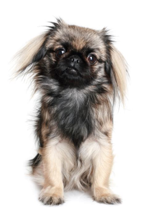 puppy congestion congested nose treating your pekingese s stuffy nose