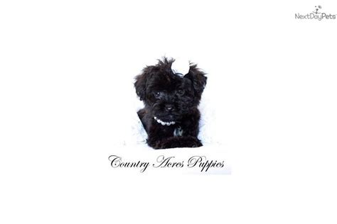 yorkie poo puppies for adoption in illinois yorkiepoo yorkie poo for sale for 800 near bloomington normal illinois 84e51945 f501