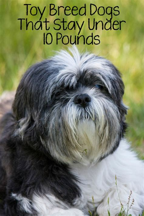 dogs 10 pounds 5 best breed dogs that stay 10 pounds dogvills