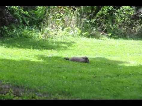 animals in your backyard strange animal found in backyard pennsylvania youtube