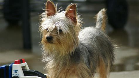 how does it take a yorkie to puppies how does it take for a yorkie s hair to grow reference