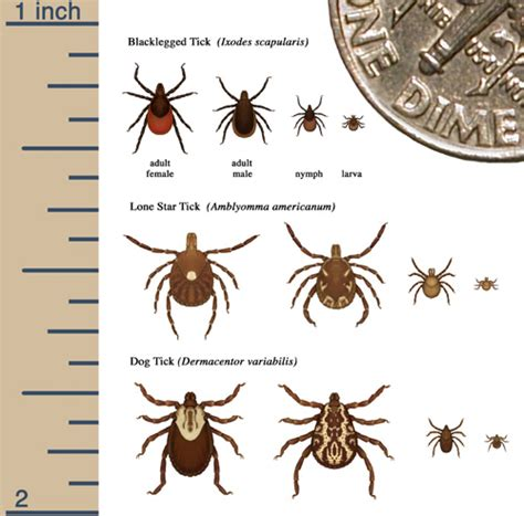 Essential Oils For Garden Pests - what does a dog tick look like what does it look like find out here