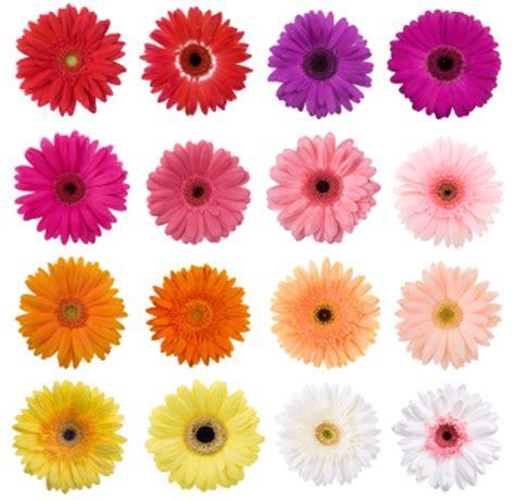 gerbera colors le gerbera flore de l 238 le de la r 233 union