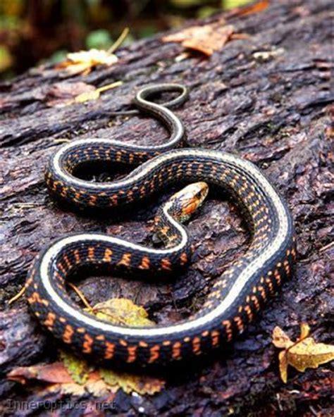 Garter Snake Oregon Oregon Striped Garter Snake Animals Reptiles Etc