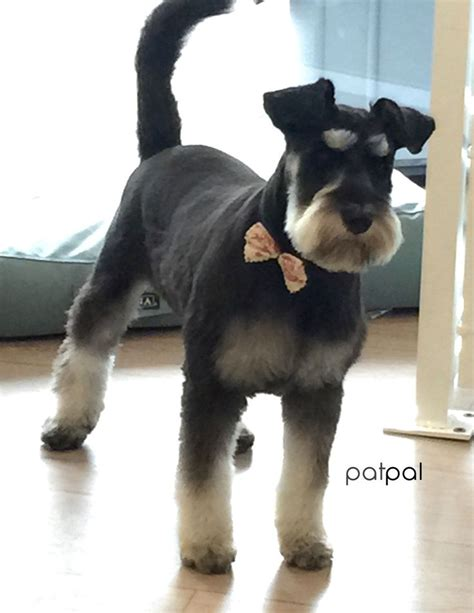 schnauzer haircut and styles best 25 miniature schnauzer schnauzer grooming styles and my first grooming on 1000