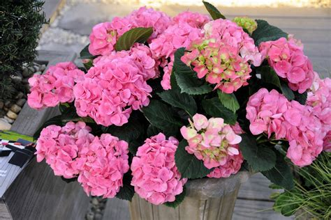 wallpaper flower in pot hydrangea flower growing in a pot wallpapers and images