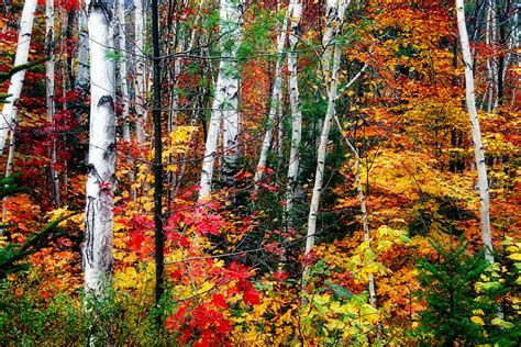 birch trees with colorful fall foliage by george oze