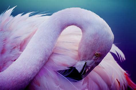 pink wallpaper with birds pink flamingo bird wallpapers new hd wallpapers