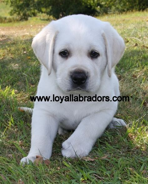 lab puppies for sale indiana 2017 interesting labrador retriever puppies for sale in michigan price