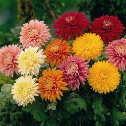 chrysanthemum colors fulfilling the cultivate in sunburst