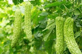 Jual Bibit Pare benih bibit sayur pare eceran cocok untuk dataran rendah