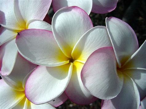 Plumeria Dollar Origami - 17 best images about hawaiin leis for graduation on