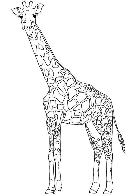 template of giraffe giraffe line drawing cliparts co