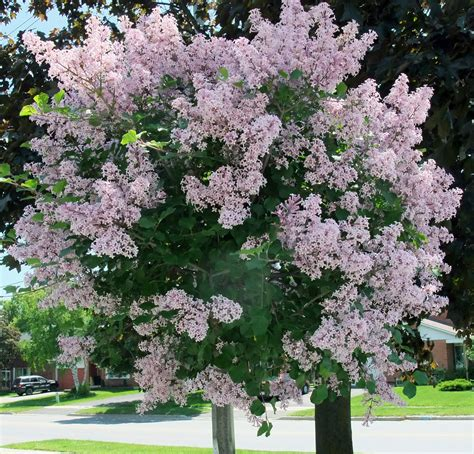 lilac tree lilac tree syringa reticulata jpg teachings amato
