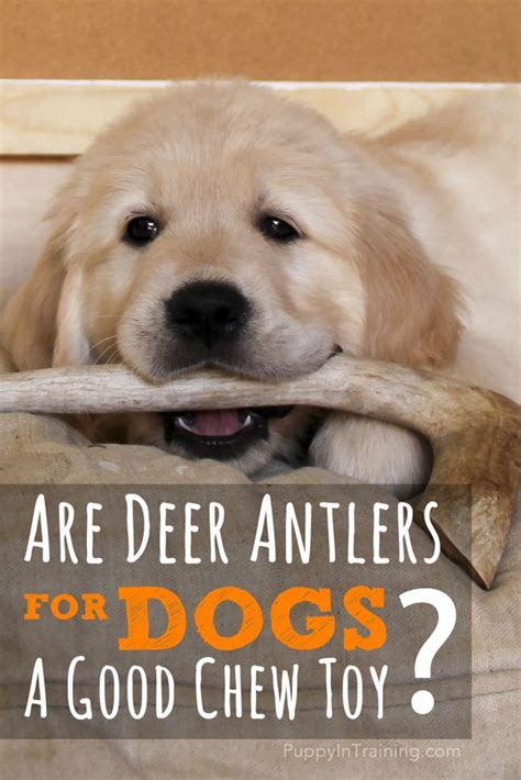 are antlers safe for puppies are deer antlers for dogs a chew