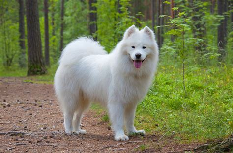 fluffy puppy breeds large white fluffy breeds breed dogs spinningpetsyarn