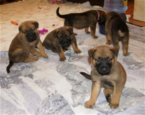 shepinois puppies camelot german shepherds camelot german shepherds german shepherd breeders