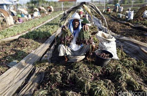 Bibit Bawang Merah Dari Biji meski lebih murah petani bawang merah enggan pakai benih biji