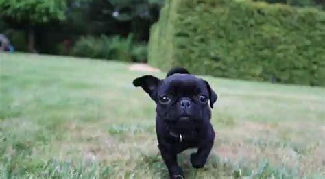 how much is a pug how much it is to be a pug rtm rightthisminute