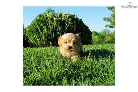 puppies for sale in san diego ca meet buddah a cavapoo puppy for sale for 695 cavapoo puppies for sale in san